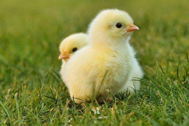 Arti Mimpi Melihat Ayam Betina