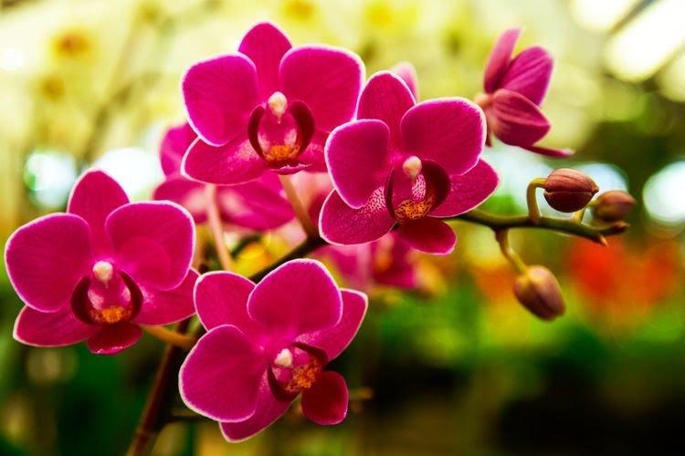 Arti Mimpi Memetik Bunga Anggrek Semerbak Menurut Primbon