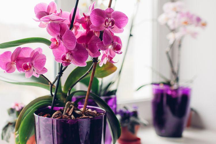 Arti Mimpi Melihat Bunga Anggrek Layu Menurut Primbon