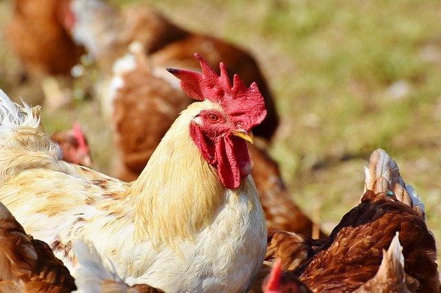 Arti Mimpi Melihat Ayam Dicuri Orang Menurut Primbon