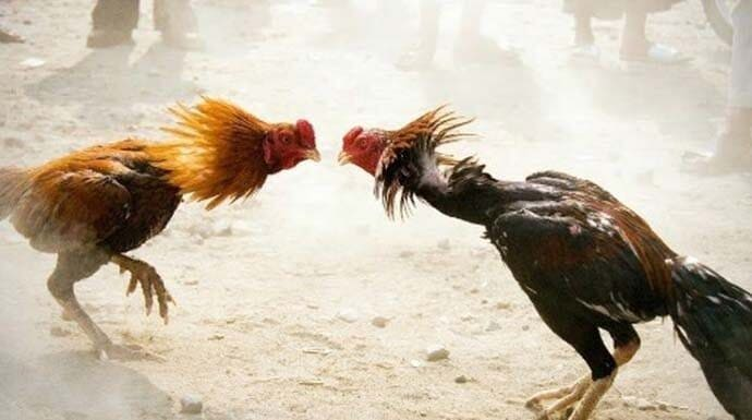 Arti Mimpi Mengadu Ayam Menurut Primbon Pertanda Apa