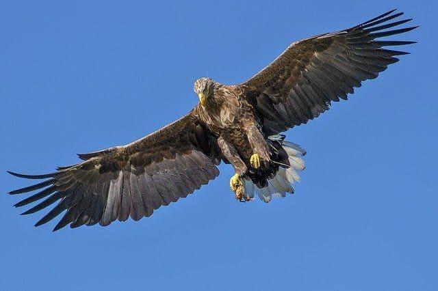 Arti Mimpi Melihat Burung Elang / Rajawali Menurut Primbon