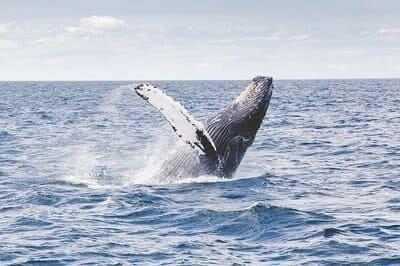 Arti Mimpi Melihat Ikan Paus Berenang di Air Laut