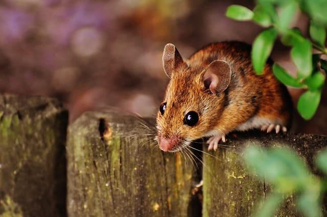 Mimpi Tikus Berdasarka Pandangan Islam dan Primbon Jawa